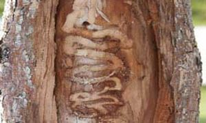Emerald Ash Borer - tree damage